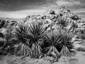 GFX_JoshuaTree_200203-1698-copy