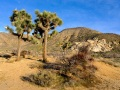 GFX_JoshuaTree_200205-1747-copy