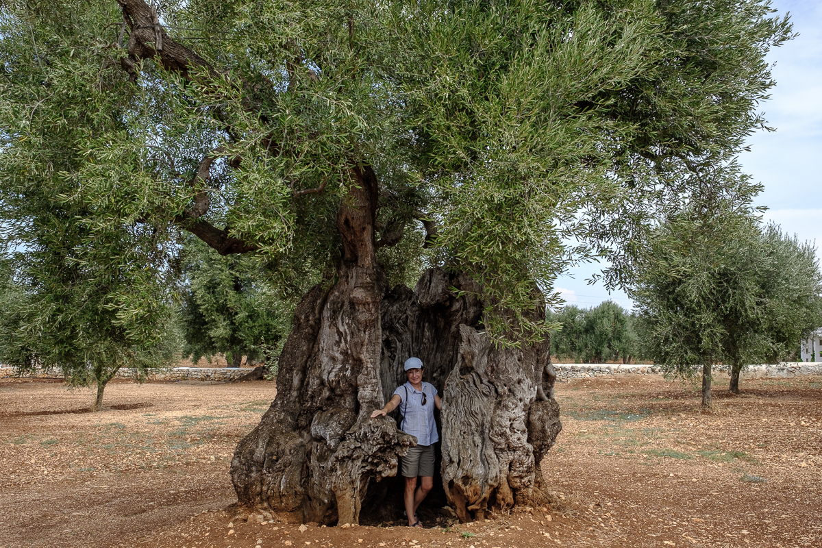 Ancient Olive Trees in Crisis